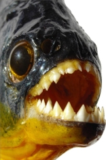 piranha3